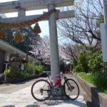 関東 桜満開 三浦半島桜ライド